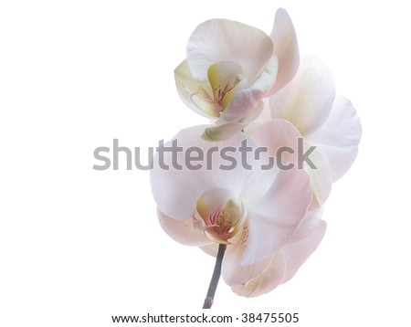 The white orchid and isolated background