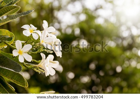 The white plumeria flowers with soft sunshine