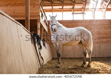 The white sport horse running around the arena - stock photo