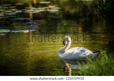 The White Swan. - stock photo