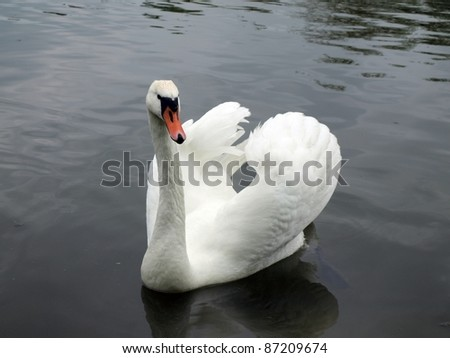 The white swan - stock photo