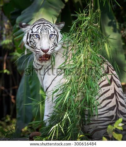 The white Tiger. - stock photo