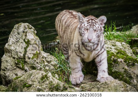 The white tiger (Chinchilla albinistic) is a pigmentation variant of the Bengal tiger. The reason for their white colour is that they have a deficiency in melanin or pheomelanin pigment - stock photo