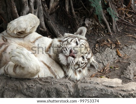 The white tiger cute acting in sleeping time