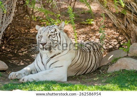 The white Tiger is a pigmentation variant of the Bengal tiger, Panthera tigris, the largest feline species - stock photo
