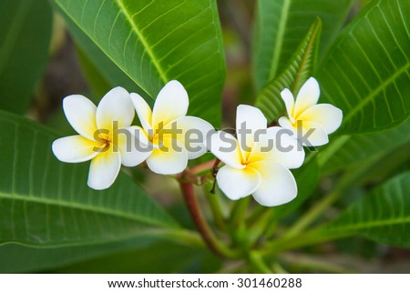 The white-yellow frangipani with leaves - stock photo