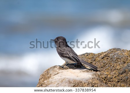 The Wild Black Phoebe Pearching on the Rock at Ventura Beach - stock photo