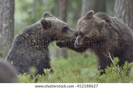The Wild  brown bear (Ursus arctos) cubs playing  in a forest. Close-up