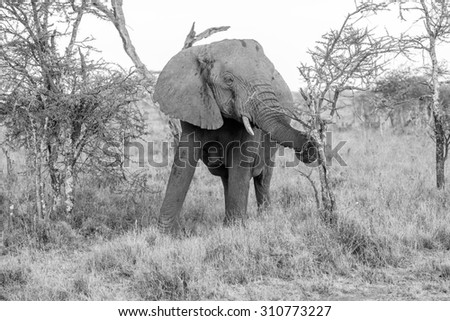 The Wild Elephant Walking In The Serengeti National Park, Tanzania.