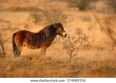 The wild horse (Equus ferus) in the steppe in the early morning enlightened by sunlight rays. View on a horse pasturing in the steppe in czech Milovice. Yellow grassland, beautiful brown horse.