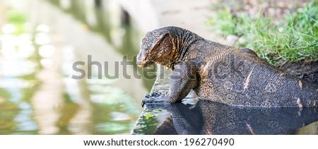 The wild water monitor lizard - stock photo