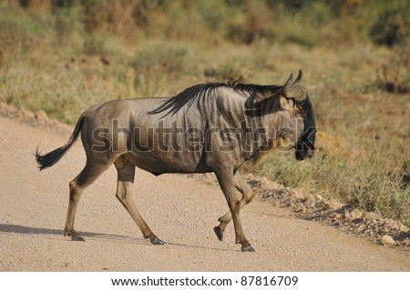 """The wildebeest (plural wildebeest, wildebeests or wildebai), also called the gnu is an antelope of the genus Connochaetes. It is a hooved (ungulate) mammal. Wildebeest is Dutch for """"wild beast"""" - stock photo"""
