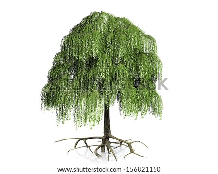 the willow tree on a white background - stock photo