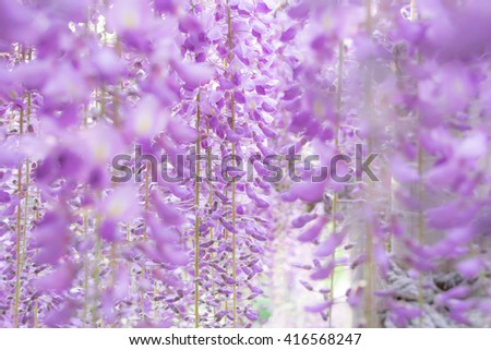 The wisteria  beautiful scenery of a spring field.