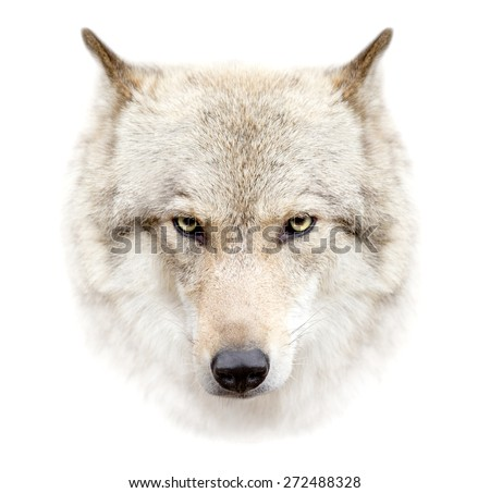 The wolf face on white background - stock photo