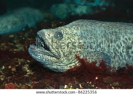 The wolf-fish - stock photo