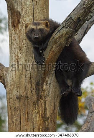 The wolverine  (Gulo gulo)   - stock photo