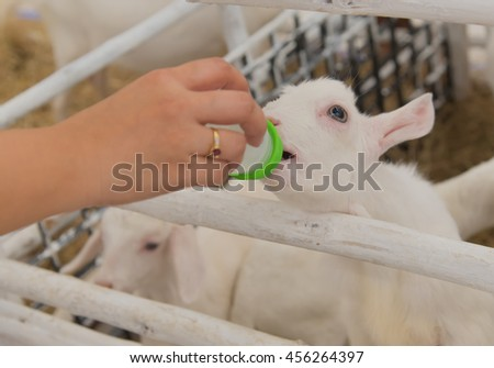the women feeding milk to cute baby/ little Goat in Farm