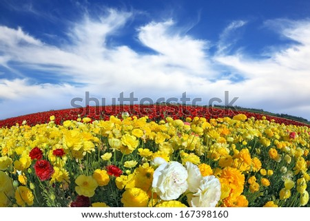 The wonderful spring weather, light clouds flying across a blue sky. Huge fields of blossoming garden buttercups (Ranunculus asiaticus).  The picture was taken Fisheye lens - stock photo