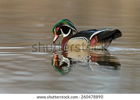 The wood duck or Carolina duck (Aix sponsa)