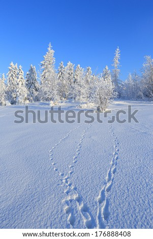 The wood in the winter in Siberia in the sunny day with traces of animals in the foreground - stock photo