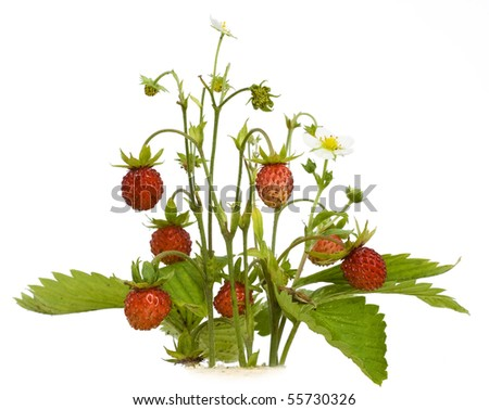 The wood wild strawberry berries. Isolated on white.