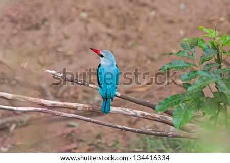 The Woodland Kingfisher (Halcyon senegalensis) sits on deadwood branch against land background. Lake Manyara National Park, Tanzania, Africa. - stock photo