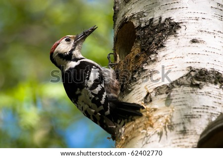 The woodpecker perched at a hollow. White-backed, male - stock photo