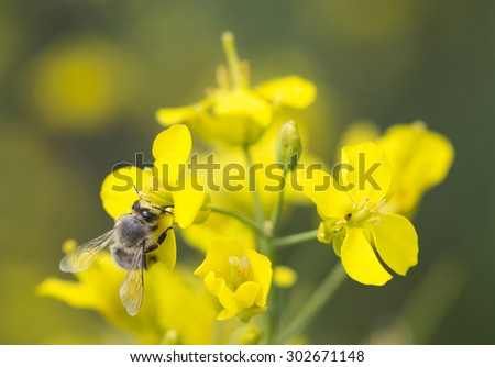 The working bee on the yellow flower of canola - stock photo