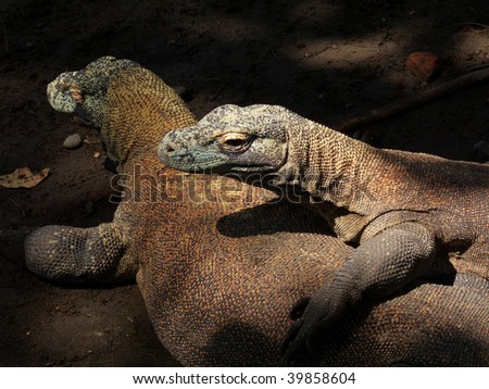 the world heaviest living lizards, komodo dragon