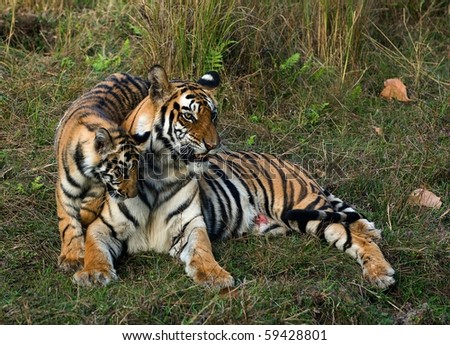 The wounded tigress becomes angry about the annoying kid. - stock photo