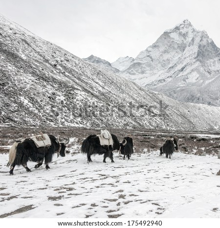 The yak caravan going from Everest Base Camp near Periche village in snowstorm - Nepal, Himalayas