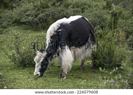 the Yaks grazing on the land. - stock photo