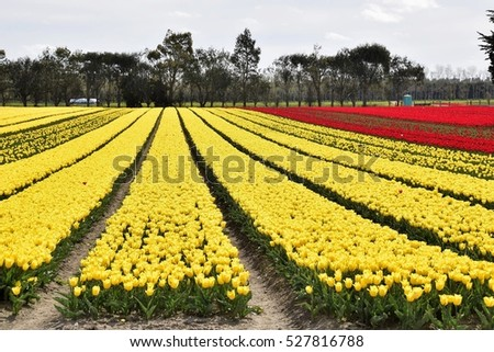 The yellow and red tulip fields in Edendale, Southland.
