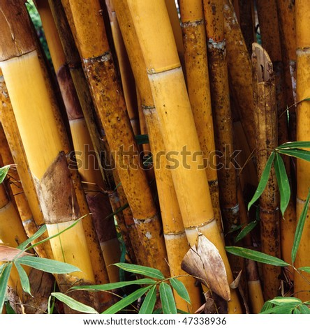 The yellow bamboo