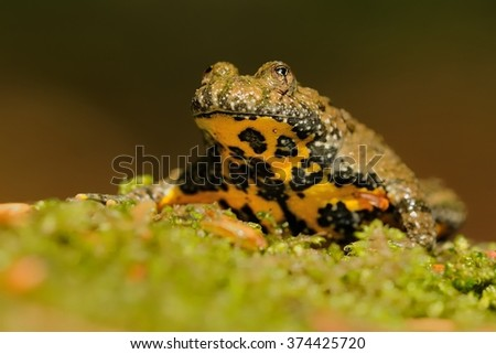 The yellow-bellied toad (Bombina variegata) on the green moss. Brown frog with yellow belly with green and brown backgroun. - stock photo