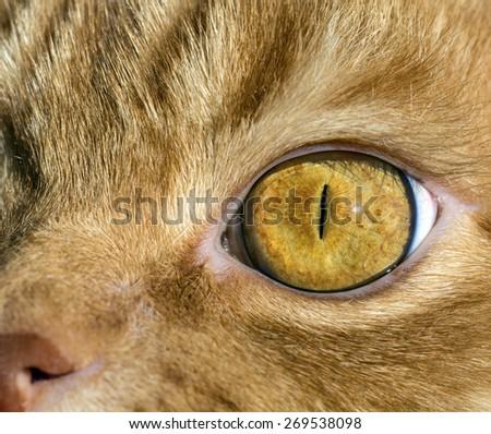 The yellow cat's eye macro - stock photo