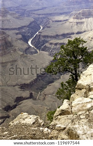 The yellow Colorado River follows its path through the canyon watched by this silent Pine - stock photo