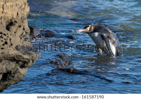 The Yellow-eyed Penguin Megadyptes antipodes or Hoiho: Rarest penguin in the world native to New Zealand