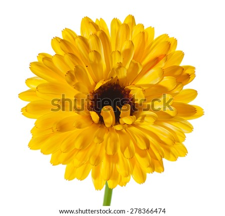 The yellow flower of a calendula with terry petals close up isolated on the white. - stock photo