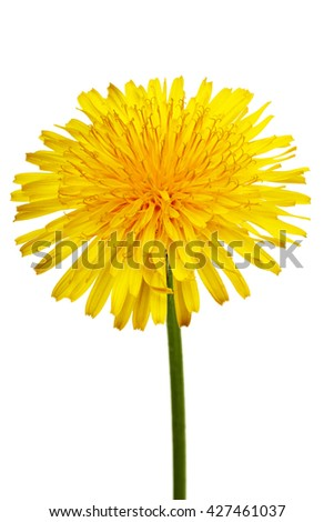 The yellow flower of a dandelion close up on white background with Clipping Path.
