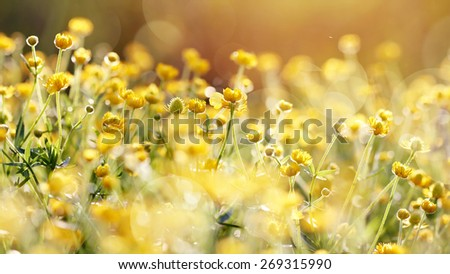 The yellow flowers of a buttercup on a meadow lit with the sun. - stock photo