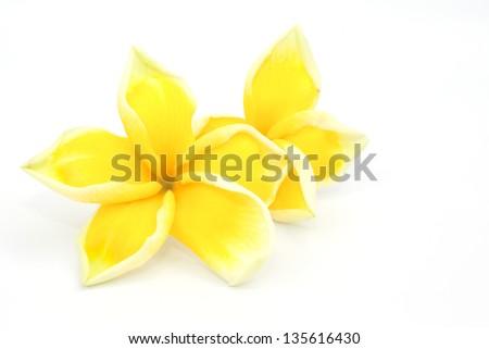 The yellow frangipani  flower isolated on the white background - stock photo