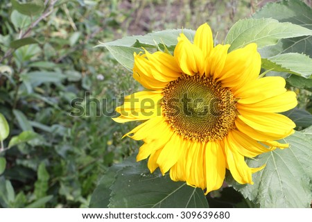 The yellow sunflower growing in a garden in summer day