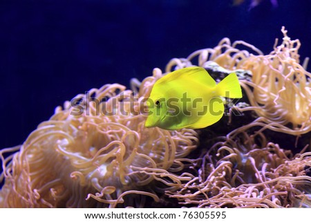 The yellow tang is a saltwater fish species of the family Acanthuridae