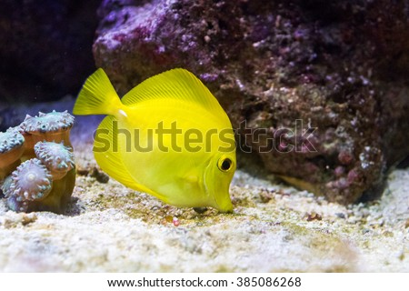 The yellow tang (Zebrasoma flavescens), a saltwater fish species of the family Acanthuridae (surgeonfish family) - stock photo