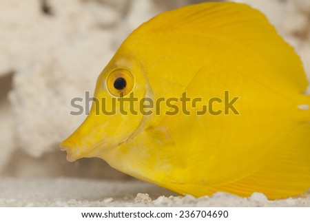 The yellow tang (Zebrasoma flavescens) is a saltwater fish species of the family Acanthuridae. It is one of the most popular aquarium fish. - stock photo