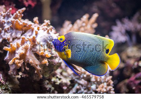 The yellowface angelfish, commonly known as the blueface angelfish