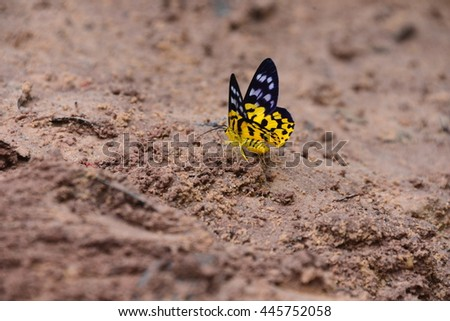 the Yellows and White dot and black butterfly, Pang Sida National Park , Sa kaew, THAILAND