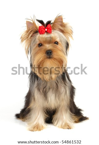 The Yorkshire Terrier isolated on white - stock photo